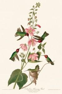 3 芙蓉の蜜に集まるアンナハチドリ