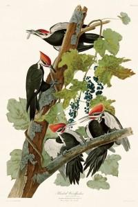 6 葡萄の木に集合したエボシクマゲラの一家
