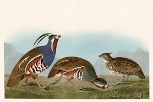 2 ツノウズラの親子、右端が幼鳥
