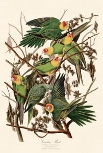 12 オナモミの枝に集まるカロライナインコ(絶滅)
