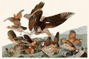 8 オオタカに襲われ逃げまどうコリンウズラの群れ(準絶滅危惧種)