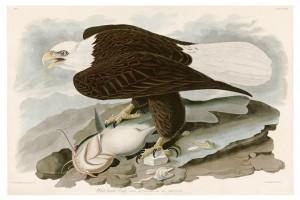 7 ナマズをしとめるハクトウワシ。アメリカの国鳥